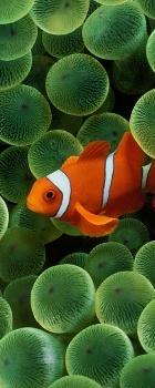 Clown Fish, Great Barrier Reef Australia
